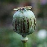 11_The opium poppy